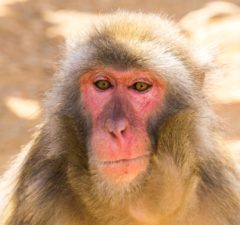 cloning macaques tim easley