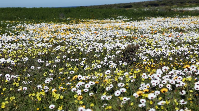 The western capes spring flowers are blooming on instagram mightylinksfo